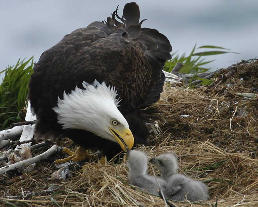 Temporary Trail Closures to Protect Bald Eagles Nesting Site