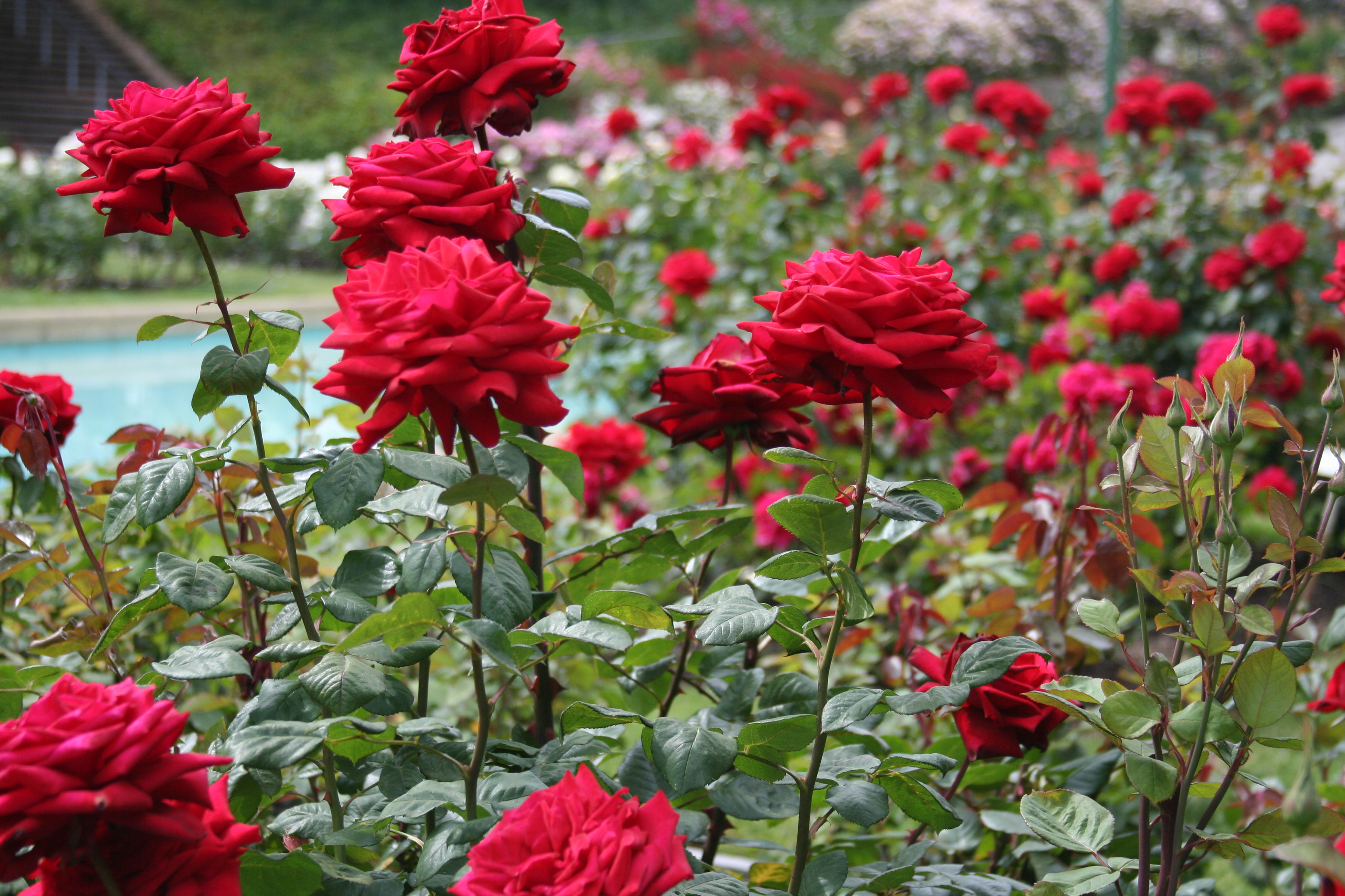 Gardening Talks: Roses 101 – Home Right Real Estate Solutions